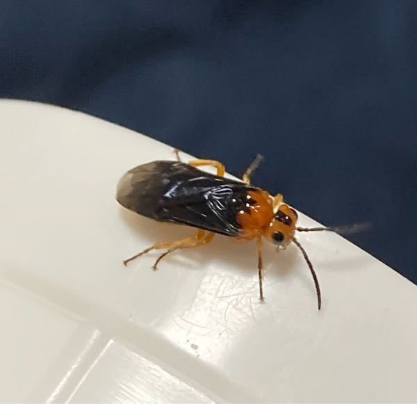 この昆虫の名前を教えて下さい。 洗濯物についていました。 大した知識はありませんがハバチの仲間と予想しました、いかがでしょうか。