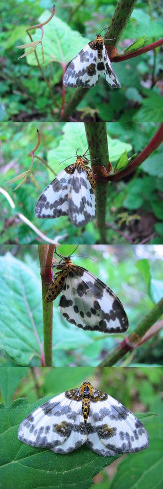 新型コロナウイルス蔓延という事で、結構 皆さん山(登山)や草原(キャンプ)など山野に行っているそうですが、 僕もカメラ片手に行ってみました。 画像 ↓ はそこ(山)で撮った写真です。 蛾 か 蝶 かは知りませんが、それなりに羽の柄はきれいだったので、また、植物にとまった後はカメラを近づけても逃げなかったので何枚か撮りました。 何という名前の昆虫でしょうか??