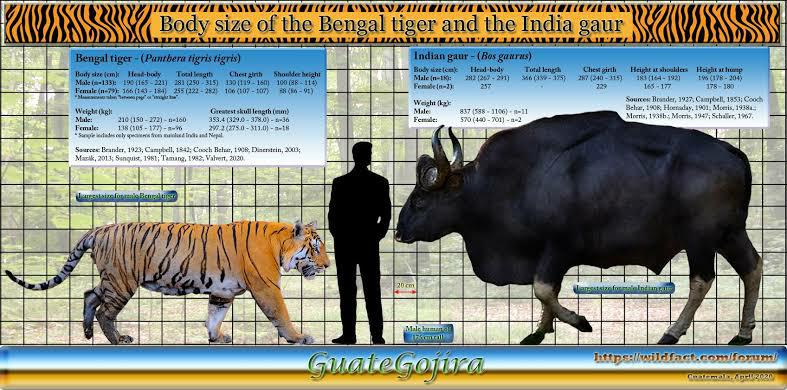 ベンガルトラ最強個体VSガウル最大個体が本気で戦ったらどの様な勝負になりますか?