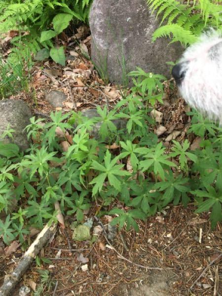 これは大麻ですか?