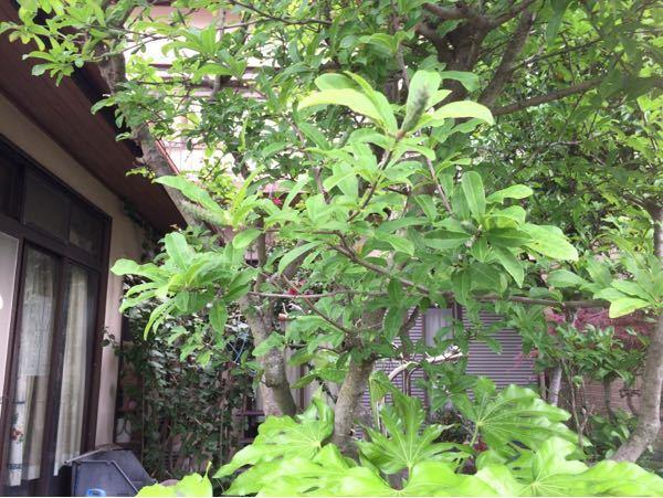 この木の名前を教えて下さい!