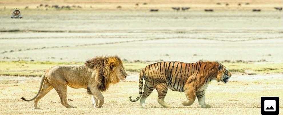 最大級個体同士のライオンVSトラ…………どうなりますか?