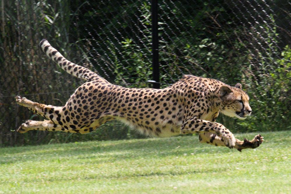 ブルマー将軍に質問です 上野動物園には体育会系のチーターは見れますか?