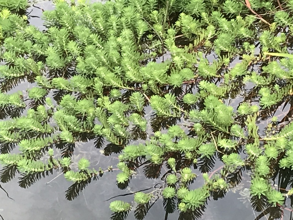 この、川に自生した植物は何でしょうか?