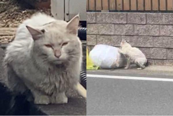 うちの前によく来る猫です。 この子は何歳又は何ヶ月くらいの子かわかる方いらっしゃいますか??