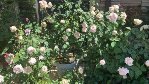 品種がわからない、鉢植えつるバラです。 一見綺麗なのですが 実はほとんどの花がボーリングして落ちたり 無理矢理開いたもので、 すぐ茶色に汚くなってしまい 毎年ちゃんと咲きません。 土は 赤玉土小粒、籾殻入り牛糞堆肥、腐葉土、 軽石とバークチップを少々混ぜています。 肥料は 植え替え時(11月植え替えをやっています) 一年効くタイプの化成肥料を少々、 根付くまでは数回リキダス、 その後週一回で数回ハイポネックス微分、 1〜2ヶ月に一回に固形油粕の置き肥、 2週に一回程度蕾がつくまで花工場をやっています。 いつもボーリングするので 雨の当たらない軒下の日当たりに置き、 今年は蕾がついてからは 水も少なめでやってみたのですが こんな感じでしたた。 品種がわからず放置されていて セールになっていた薔薇なので仕方ないですが 鉢植えで育てるには12号以上の鉢でなければ 倒れるし水切ればかりになってしまいます。 植え替えも大変ですし、 もう諦めてさようならしようかと思うのですが、 木自体は元気なので まだ何か最後にやれる事があれば 薔薇栽培の先輩方にお伺いしたいと思います。 もし今までやっていた肥料を止めるならば どの肥料を止めるといいでしょうか?