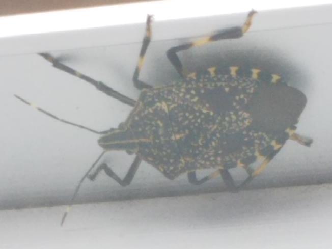 虫の名前知りたい(※画像注意※嫌な方はご注意を) 当方、4階住なのですがさっきから窓の下にはりついているこの虫何かわかるかたいますか? 突っついてもどっか言ってくれない…(T_T)