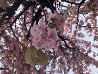 この八重桜の種類わかる方教えてください!!