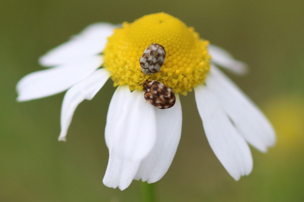 この虫は、何という虫でしょうか? よろしくお願いします。