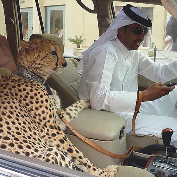 いくら五感の鋭いチーターが助手席にいても運転中の携帯いじりは違反ですよね?