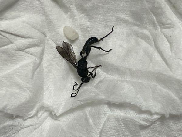 家の中に飛んでいた虫なんですが、蟻の様に見えて結構デカいんです。 なんて虫かわかりませんか? 米はサイズ比べ様です。