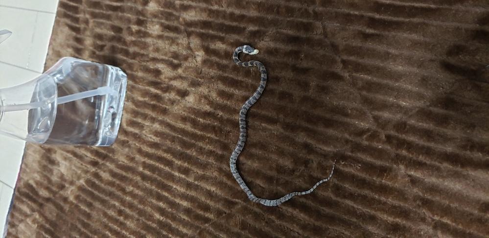 シロマダラの幼蛇と1ヶ月ほど前に出会い それから一緒に暮らしています 出会った頃から 総排泄控あたりが硬く?なっていて尻尾を自分でうまく動かせてないように見えました。 最近になって身体の1/3程が硬くなってしまい お腹側の鱗もたるんでいるようにみえます 病気なのか怪我なのかどなたか教えて下さい…