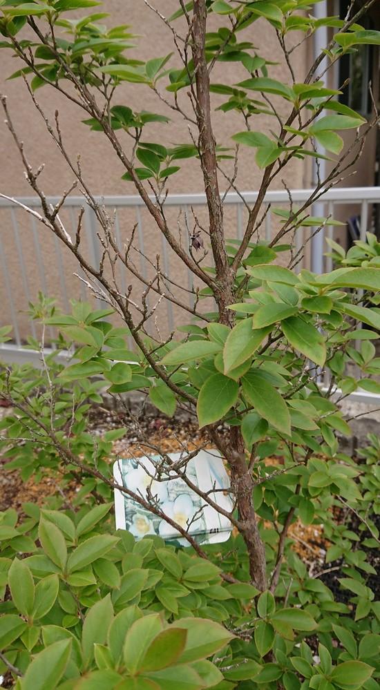 我が家のヒメシャラについてです。 今年も春が来て、新芽が出て葉が着きましたが、写真のように一部の枝だけは芽がついているものの、葉が出てきません。これはどういう状態なのでしょうか。 また、木の最も高い先端がある枝も同じような状態です。あまりよくない感じはしますが、これがどのような状態なのか、どうするとよいのか等教えていただきたいです。よろしくお願いします。