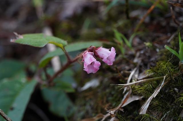 福島県 雄国沼で見かけた花です。 ツル状にも見える細い茎に付いていました。 この花の名前を教えて下さい。 よろしくお願いします。