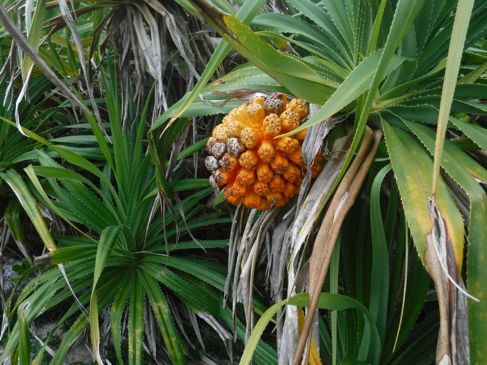 宮古島の林にこのような木の実が沢山ありますが何ですか? 食べられますか?