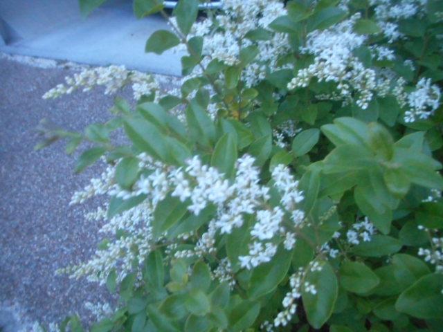 いつものようにピンボケ写真で申し訳ありません。 この花はコバノズィナで合っていますか? それとも別の花でしょうか? お分かりの方、教えて下さい。