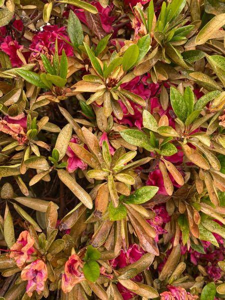 ツツジの葉が茶色になって枯れて来ました。 原因分かる方いましたらアドバイスお願いします。