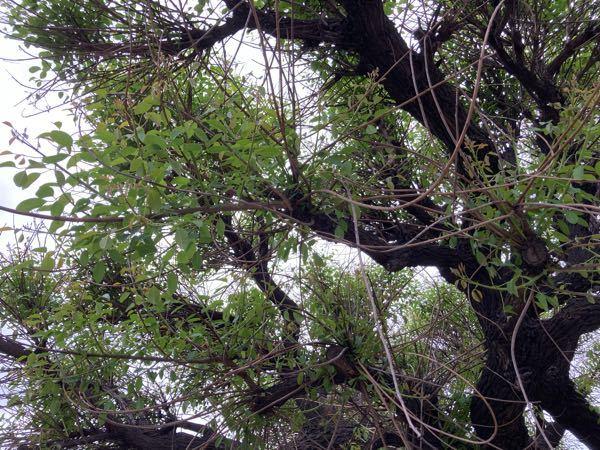 愛知県東海市元浜公園のらあちこちにある木です。名前は何でしょうか? その② (その①の葉の写真アップです。)