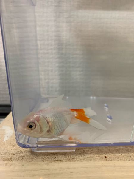 金魚が元気がなく餌を食べません。 3週間前に金魚すくいでとってきた金魚3匹のうち1匹のみ、餌を食べなくなりました。 金魚すくいで取ってきてからみんな5日ほど塩浴させ、20リットルの水槽に移しました。 しばらくはみんな元気でしたが、最近になって他の2匹は元気に泳ぎ回り餌も我先にと食いつくのですが、1匹のみだんだん泳ぎ方がぼーっとしているように鈍くなり、餌を食べなくなり水槽の底に沈んでいることが多くなりました。 元気な金魚が餌やり後追いかけたりしていたのでストレスで餌を食べなくなったのかと思い、昨日から隔離し、再び塩浴させています。 水換えは毎日3分の1ずつくらいやっています。 餌は今日2粒ほど入れてみましたがやはり食べませんので、結構長い間絶食状態です。 1匹の水槽になってもあまり泳がず、たまに泳いでいる時もありますがほとんど底でじっとしながら口とエラをパクパク動かしています。 何か悪い病気なのでしょうか。 エロモナス病?というのがあるようですが、素人なのでよくわかりません。 写真を載せます。 何か分かる方、アドバイスいただけると助かります。