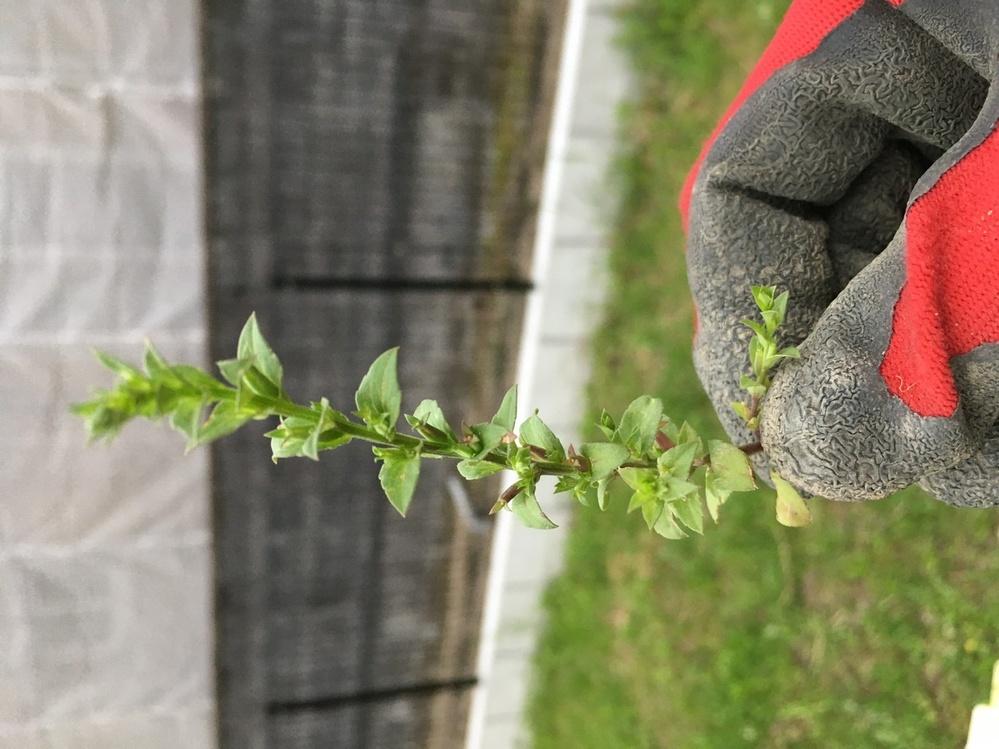 写真の雑草はハコベ?ですか? 違う雑草ですか? 詳しい方、ご教示ください。 よろしくお願いします。