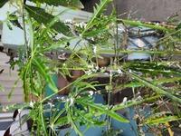 会社の観葉植物なのですが、葉っぱにベタベタした物がついていて、画像のような白い塊がたくさんついています。 葉っぱのベタベタはコナカイガラムシにやられた時の画像とよく似ています。 ご回答よろしくお願い致します。