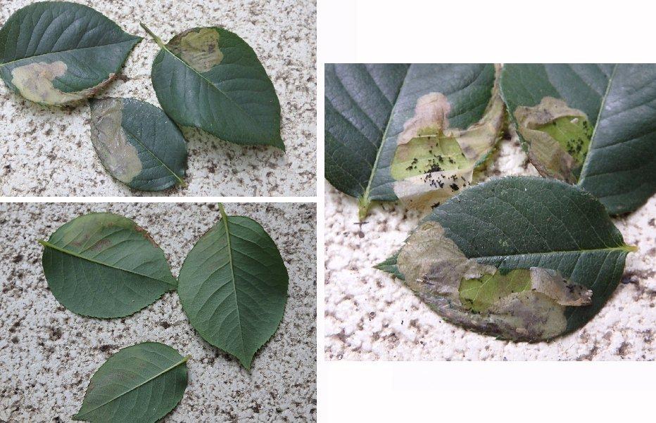 このバラの葉は病気それとも害虫でしょうか。 4月に大苗で買ったバラが順調に生育しているのですが、最近写真のようなイタミが起きている葉に気づきました。2つの苗で比較的近い場所に4,5枚ほど。 よく見ると表皮に剥離があり、はがして見ると中に小さな生物の糞を思わせる黒粒が多数。生物らしき動いているものは見当たりません。 とりあえず今日該当する症状の葉は除去し、食酢を薄めた水のスプレーで対処したところです。 原因や対処などお分かりの方がおられましたらよろしくお願いいたします。