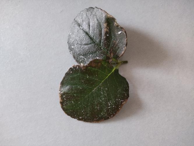 薔薇の古い葉が 写真のようになってます。 若葉はキレイです。 オルトランを撒きまし。が、 これは、日焼けでしょうか? 教えて下さいm(_ _)m 白い粉は私がアブラムシ駆除に 片栗粉水を葉水...