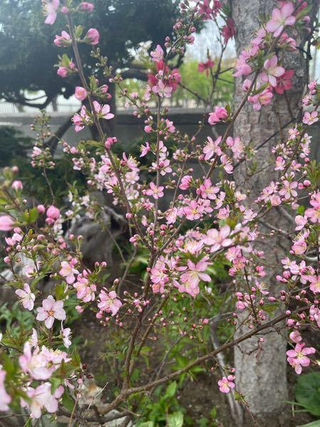この木の正式名称を名前を教えてください。(梅の様な桜なような^^;)