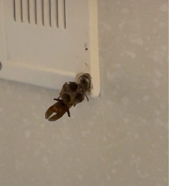 【蜂】アパートの廊下にこれくらいのサイズの蜂が巣を作ってました。 部屋のすぐ前だったので傘で壊したのですが、また同じ場所に作りますかね? 壊して直ぐに部屋に逃げたので、女王蜂がどこに行ったか分からないです。 細身で少し黒かったのでスズメバチでは無さそうです。 蜂怖い。