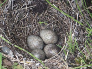 これはなんて種類の鳥の卵ですか?