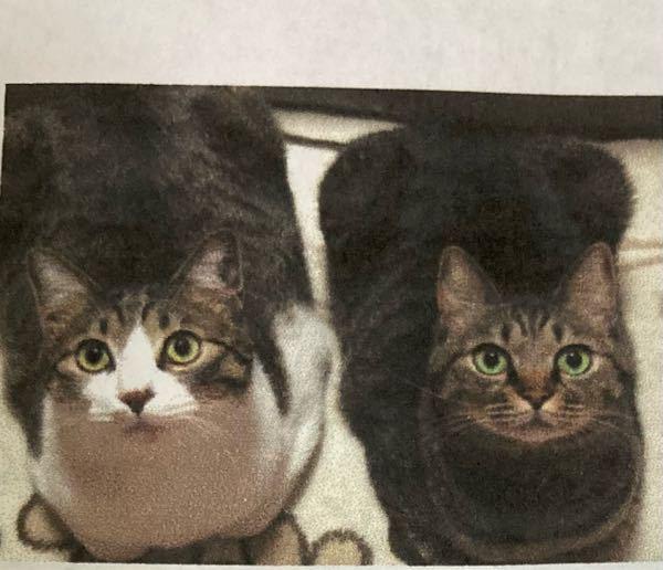 猫に詳しい方にお聞きしたいのですが、 この写真の猫ちゃんはアメリカンショートヘアですか?また、何かと何かのMIXでしょうか?
