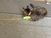 猫じゃらしを探しています   飼い猫がよく一人遊びをしていたお気に入りの猫じゃらしを失くしてしまい、最近イライラしているようです。 2本セットで持ち手は黄色、じゃらしの部分は緑とピンクでした。 少し細めで柔らかく、咥えやすいじゃらしでした。持ち手も細めです。 ご存知の方いらっしゃれば、情報お願い致します。