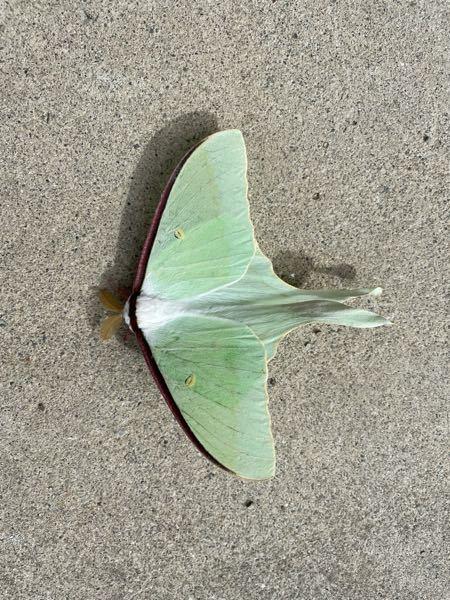 この蛾の名前を教えてください。朝家の玄関の前にいました。パステルグリーンで綺麗です。