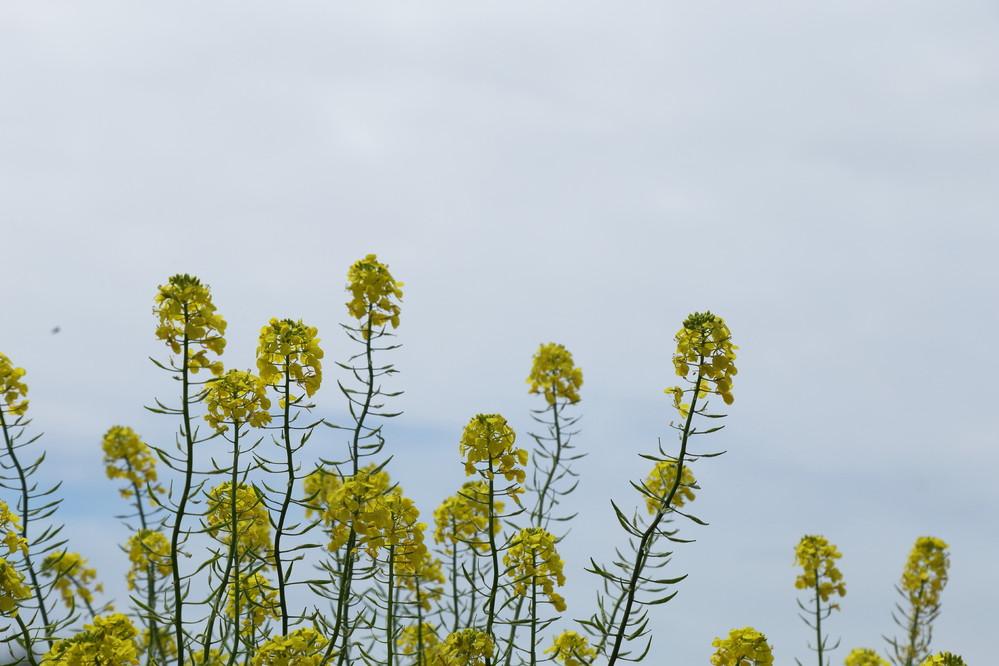 この花の名前を教えて下さい。 茎の長さは1m位。 田んぼや畑や河川敷に群生して黄色く咲いていました。
