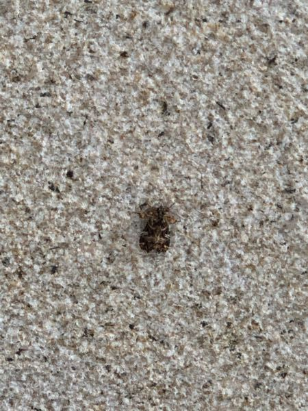 何の虫ですか? ゴキブリでしょうか?