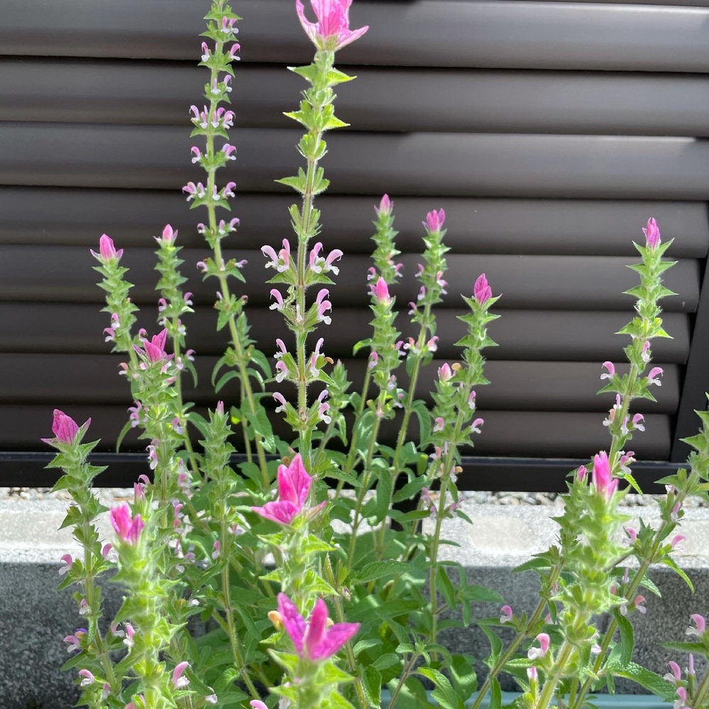 教えて下さい。 これは、何の植物でしょうか? セージの一種でしょうか? よろしくお願いします。