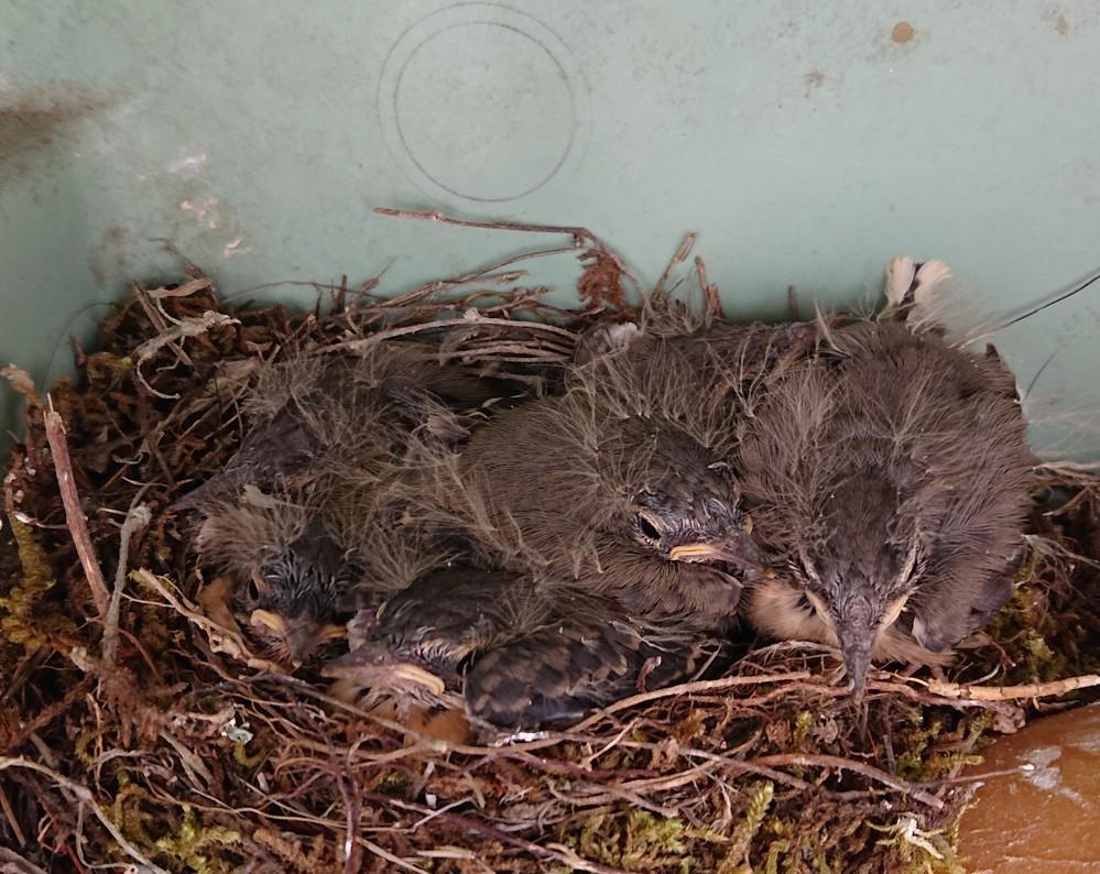 なんの鳥のひなでしょうか? 閲覧ありがとうございます。 実家の敷地内に鳥が巣作りをしていたらしく、ひなが孵りました。 私は親鳥は見たことないのですが、このひなはなんという鳥のひなでしょうか?