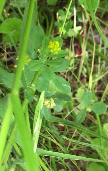 この植物の名前を教えて下さい! (黄色い花をつけているやつです)
