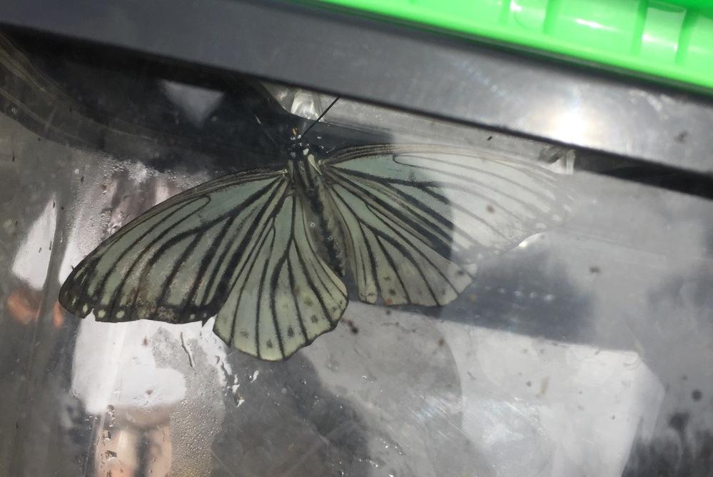この蝶はなんという蝶ですか? 小学館の図鑑ネオで調べましたがわかりませんでした。