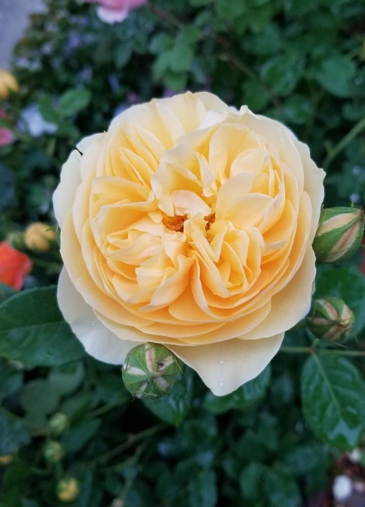 グラハムトーマスの大苗を購入し、今、開花中なのですが、香りがあまり感じられません。色目は少し薄い気がします。 グラハムトーマスと似たバラってありますか?それとも、個体差でしょうか?