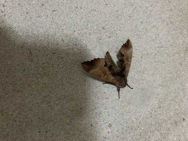 これはなんていう蛾ですか?