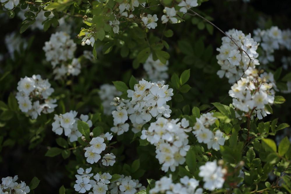 この花の名前を教えて下さい。 水路ぎわにありました。 小さな小枝が沢山ある様な木(樹高は1m位?)に鈴なりに咲いていました。 コデマリでしょうか?