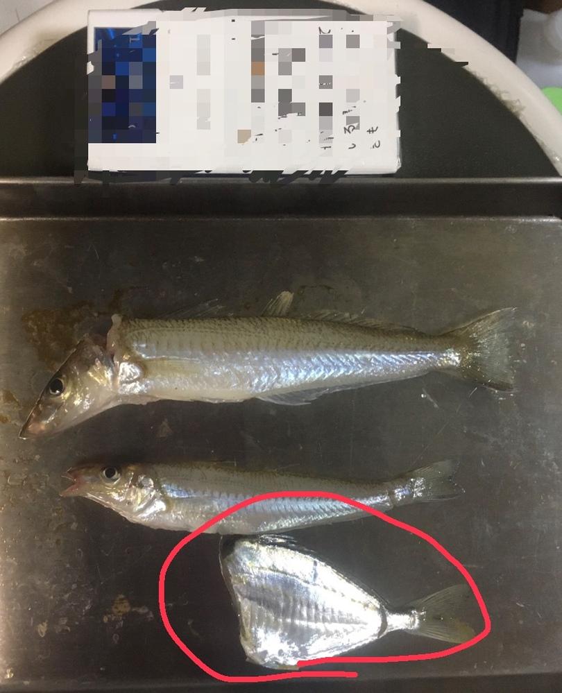 質問失礼します、 見にくくすみません 一番下の魚、頭落とした写真しかなく なんの種類かわかりますか? すみません 大体でお答え出来る方いますか? すみません。