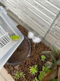 シュレーゲルアオガエルを飼育しています。 水槽内で卵を産んだのですが、別の容器に移動した方がいいでしょうか?