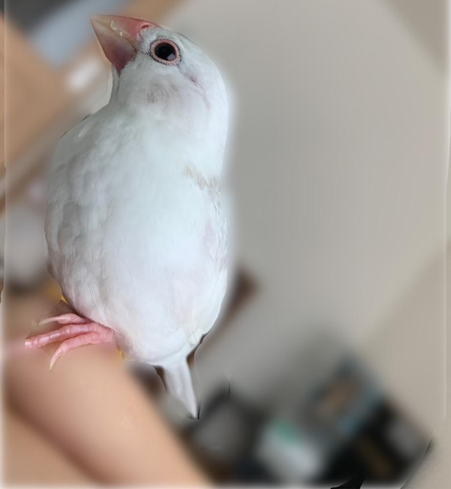 今年の2月生まれの文鳥1羽を4月18日頃から飼い始めました。生まれはペットショップではなく知り合い宅です。 その子のくちばしが4日程前から、左下の付け根部分だけ色が赤紫っぽく変色し始めてしまいま...