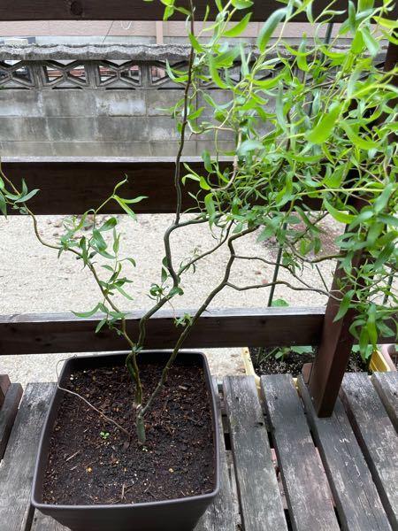 桜のころにホームセンターで枝を購入し、花瓶に入れていたら芽が出たので植えました。これは何と言う植物ですか?わかる方教えてください。