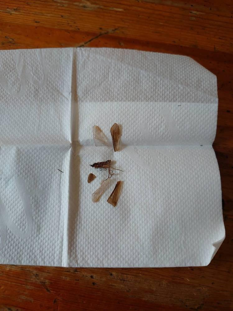 庭でこんな虫が取れたのですが、名称が分かる方はいらっしゃいますでしょうか? 最近購入した殺虫灯を庭に仕掛けたのですが、小さな蚊に交じって中々に大きな虫が獲れていました。 写真はバラバラにした後のものですが、羽根つきで2cmほどありました。 画像検索をしてみると羽シロアリなどが出てきて、ちょっと外見が違うような気が……。 教えて頂けますと嬉しいです!