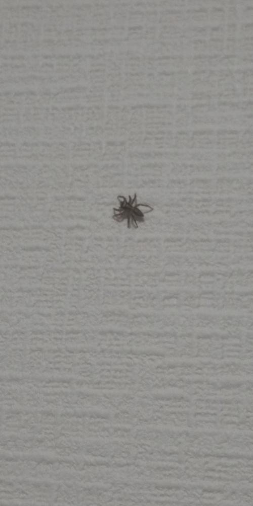 この蜘蛛最近私の部屋によく出没するんですけど放置してても大丈夫なやつですか?