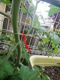 初めてトマトのプランター栽培を始めました。 第一花房が無事に着実したので除去しようと思います。 (第一花房に関しては色々な意見があるようですがいくつかプランターがあるので除去するものも作ってみようと思っております)  ネットで調べてもどこから切るか詳しく出ていないので切って良い場所を教えて欲しいです 写真のように花房の根本から切り落として良いのでしょうか?  詳しい方、教えてください<...