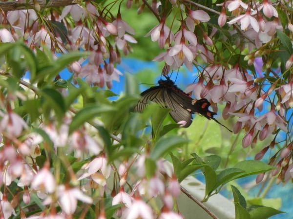 蝶の名前を調べています。エゴノキの花で吸蜜していました。名前をご存知の方教えてください。